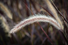 Penacho de la hierba Foto de archivo libre de regalías