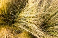 Penacho de la hierba Imagen de archivo libre de regalías