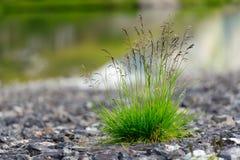Penacho de la hierba Imagenes de archivo