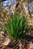 Penacho de la hierba verde Imagen de archivo