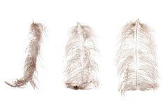 Penacho de la pluma de la avestruz aislado en el fondo blanco Imagen de archivo