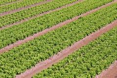 Penachos de la ensalada verde crecidos en el campo 2 Fotos de archivo libres de regalías