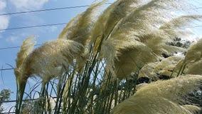 Penachos de la hierba de pampa Imagen de archivo