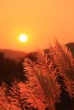 Penachos de la hierba en la puesta del sol Imagen de archivo libre de regalías
