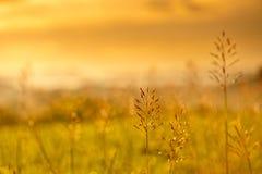 Penachos de la hierba en la puesta del sol Fotografía de archivo