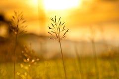 Penachos de la hierba en la puesta del sol Fotografía de archivo libre de regalías