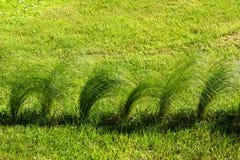 Penachos de una hierba verde en un césped, backround natural Fotografía de archivo libre de regalías