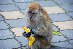 Penang, Malaysia: Monkey Eating Banana Stock Image