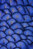 Penas azuis Fotos de Stock Royalty Free