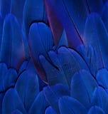 Penas azuis da arara Imagens de Stock