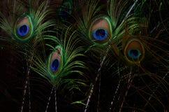 Penas bonitas do pavão Fundo da pena de pássaro Fotografia de Stock