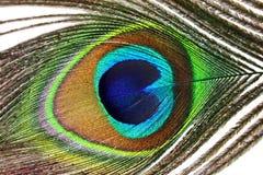 Penas bonitas do pavão no fundo branco Fotografia de Stock Royalty Free