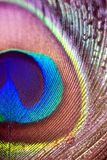 Penas coloridas e artísticas do pavão Foto macro de um arranjo de penas luminosas do pavão fotos de stock