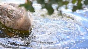 Penas da limpeza do ganso da cisne video estoque