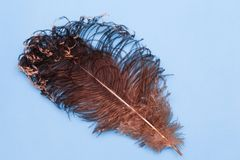 Penas de Brown de uma avestruz Pena grande bonita da avestruz no fundo azul imagens de stock royalty free