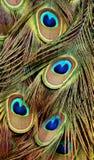 Penas de cauda coloridas do pavão Imagem de Stock