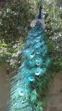 Penas de cauda do pavão Imagens de Stock Royalty Free