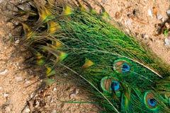 Penas de cauda do pavão que formam um teste padrão que enche o quadro fotografia de stock royalty free