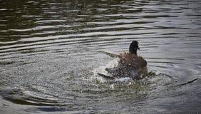 Penas de limpeza de um ganso espirrando a água por todo o lado em imagens de stock royalty free