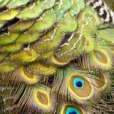 Penas de pássaro peacock imagem de stock