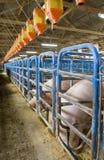 Penas de porcos Fotos de Stock Royalty Free