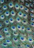 Penas de um pavão Fotos de Stock Royalty Free