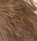 Penas de uma águia como um fundo Imagem de Stock Royalty Free