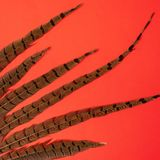 Penas do colchicus do Phasianus do faisão no fundo vermelho fotos de stock royalty free