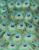 Penas do pavão fotografia de stock