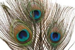 Penas do pavão Imagem de Stock