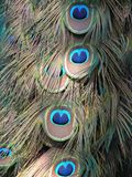 Penas do pavão foto de stock