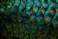 Penas do pavão no macro Imagem de Stock