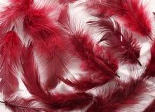 Penas pintadas Imagens de Stock