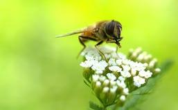 Penchant de pollen Image libre de droits