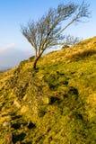 Penchement solitaire d'arbre Image stock