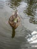 Penchez la natation sur une rivière pendant un jour d'été Images libres de droits