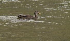 Penchez la natation sur une rivière pendant un jour d'été Photographie stock libre de droits