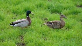 penchez les canards sur une promenade dans le sauvage Photo stock