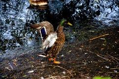 Penchez-vous avec les ailes répandues sur le rivage de l'étang photographie stock libre de droits