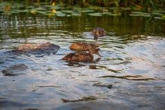 Penchez-vous avec un groupe de canards nageant sur le lac Pict horizontal image stock