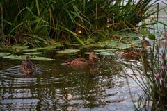 Penchez-vous avec un groupe de canards nageant sur le lac Pict horizontal photo stock