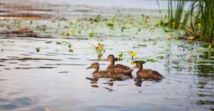 Penchez-vous avec un groupe de canards nageant sur le lac Pict horizontal photos libres de droits