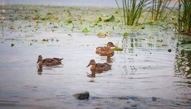 Penchez-vous avec un groupe de canards nageant sur le lac Pict horizontal photo libre de droits