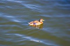 Penchez-vous dans l'eau de l'étang de ville photographie stock