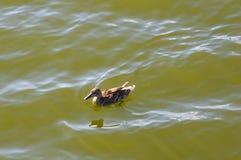 Penchez-vous dans l'eau de l'étang de ville photos libres de droits