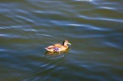 Penchez-vous dans l'eau de l'étang de ville image libre de droits