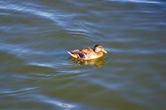 Penchez-vous dans l'eau de l'étang de ville photo libre de droits