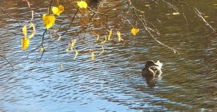 Penchez-vous dans un étang avec une branche des feuilles d'automne jaunes, panorama photographie stock libre de droits