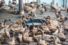 Penchez-vous en mangeant de la nourriture dans la ferme, agriculture traditionnelle image libre de droits