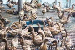 Penchez-vous en mangeant de la nourriture dans la ferme, agriculture traditionnelle photo stock